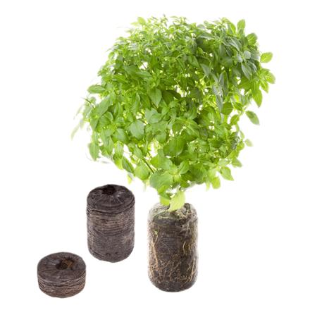 Tregren Basil, 2 seed pods, SEEDPOD03
